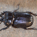 Horned scarab (aka Triceratops beetle)