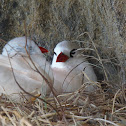 Rabo de palha de cauda vermelha