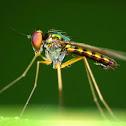 Longlegged Flies