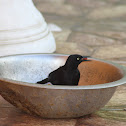 Carib Grackle (Blackbird)