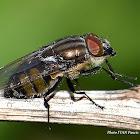 Diptera ID