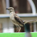 Mocking Bird - Female