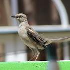 Mocking Bird - Female