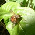 Flies of Northeastern US