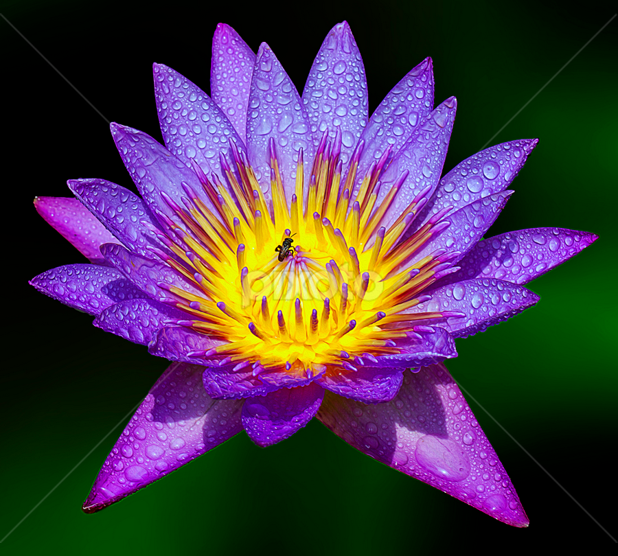 by Charliemagne Unggay - Flowers Single Flower ( water drops, purple, color, yellow, water lily )