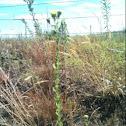 Saw leaf daisy