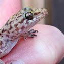 Mediterranean House Gecko