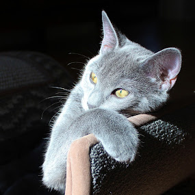 Daydreaming by Sona Decker - Animals - Cats Kittens (  )