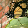 Confusa Tigerwing