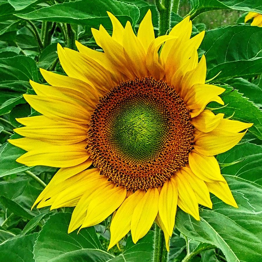 Sunflower by Maja  Marjanovic - Flowers Flowers in the Wild ( wild, sunflower, flowers, , Hope )