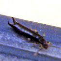 Common Earwig
