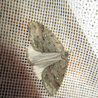 White-spotted canker worm moth