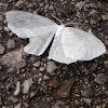Pale Beauty Moth