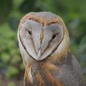 Barn Owl Juvenile