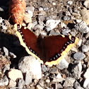 Mourning Cloack Butterfly