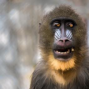 Got a light? by Romeo Pogacean - Animals Other Mammals ( captivity, animals, stick, zoo, monkey,  )