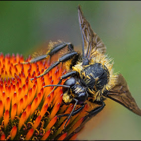 Bee Closeup #1 by Joseph T Dick - Animals Insects & Spiders