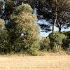 Alzina, Encina, Holm Oak