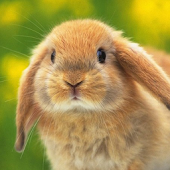 Lovely Rabbit Live Wallpaper