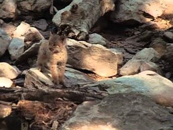 North Woods Lynx