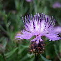 rough star-thistle; tramaladro