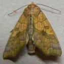 Yellow Scallop Moth