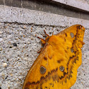 Rhodinia fugax