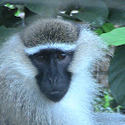 Tantalus Monkey