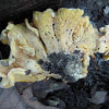 unknown chanterelle