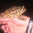Easternly American toad