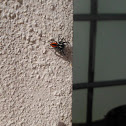 Chrysops Jumping Spider
