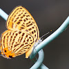 Theclinae butterfly