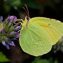 Canary Brimstone Butterfly