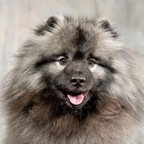 Cutie by Jack Brittain - Animals - Dogs Portraits ( pet, keeshund, dog, portrait, animal,  )