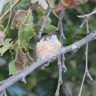 Hummingbird (Female) in Nest