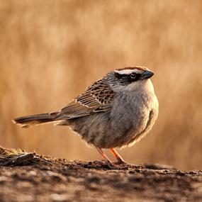 Male bird  by Cristobal Garciaferro Rubio - Animals Birds ( bird, detail, wings, beauty, bokeh )