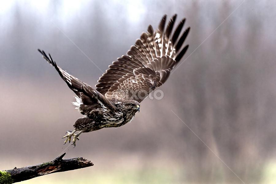 Buzzard by Alberto Carati - Animals Birds