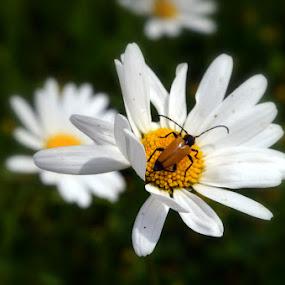 rustbloem by Kathelijn Vlaemynck - Flowers Flowers in the Wild