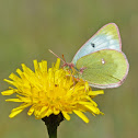 Mountain Clouded Yellow  - Candide