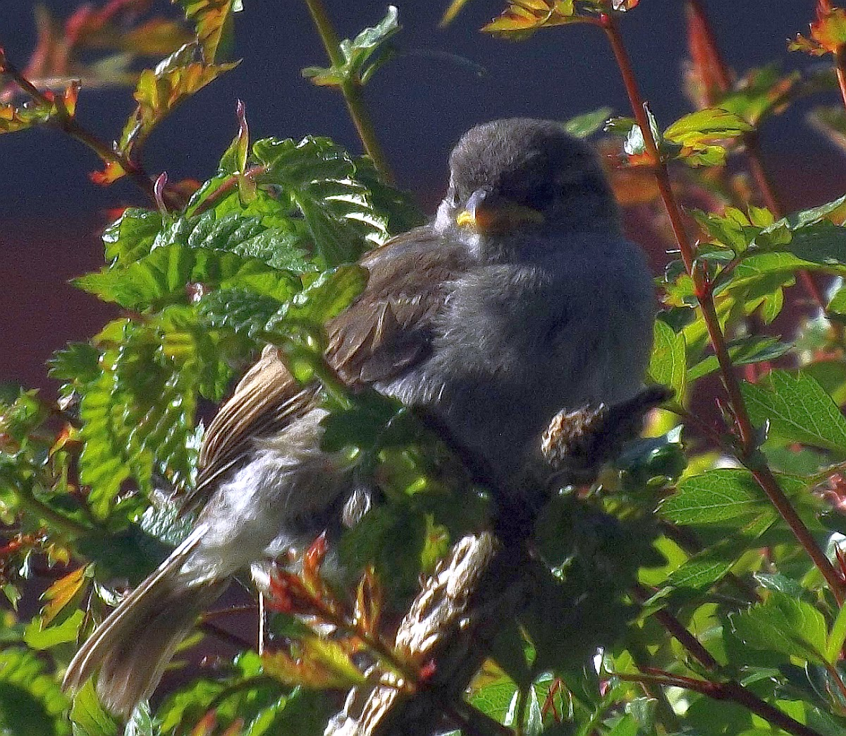 Sparrow chick/fledgling