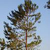 Longleaf Pine