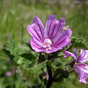common mallow; malva común