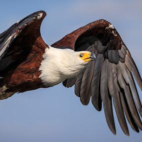 Power by Tom Esterhuizen - Animals Birds ( water, okavango, eagle, fish, power, raptor, africa, river )
