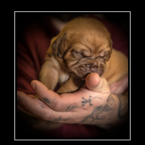 Little Bordeaux  by Peter Wyatt - Animals - Dogs Puppies ( bordeaux, doug, puppy, dog, portrait, baby, young, animal,  )
