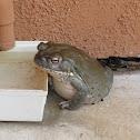 Sonoran Desert Toad (aka Colorado River Toad)
