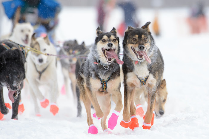 Iditarod Fairbanks, Alaska