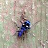 Montane tiger beetle