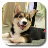 Corgi Live Wallpaper