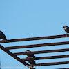 Starling & Spotless Starling; Estornino Pinto & Negro