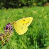 Common clouded yellow/Navadni senožetnik